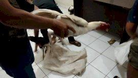 Gerebek Judi Sabung Ayam di Gowa, Polisi Hanya Amankan Barang Bukti