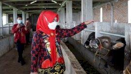 November, Kementan Target 200 Ekor Sapi Perah Dikirim ke Gowa